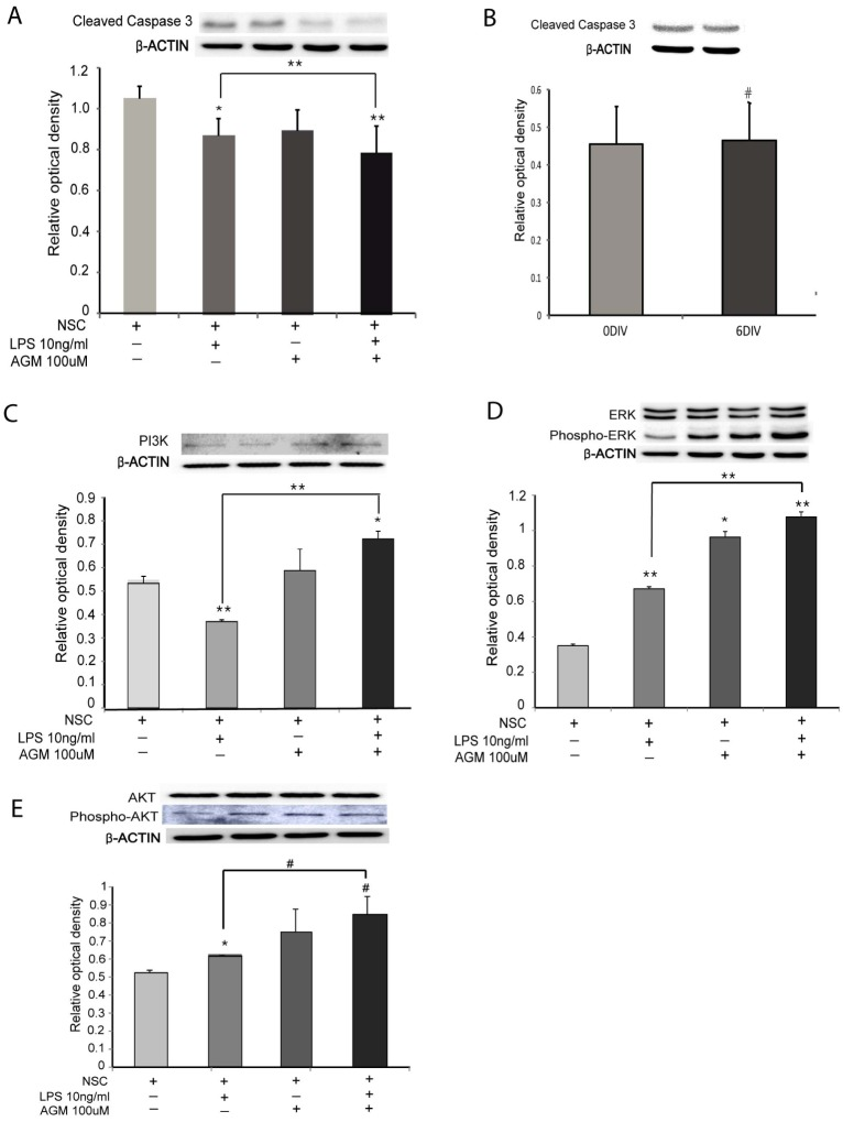 Effects of agmatine mediated by the ERK pathway under LPS-induced inflammation. (A) The expression of cleaved caspase 3 protein decreases in the Agm-treat group compared with the control group under LPS-induced inflammation. (B) The expression of cleaved caspase 3 does not differ much between 0 and 6 DIV. (C) The expression of PI3K protein increases more i n the Agm-only and the Agm- and LPS-treated groups than in the LPS-only group. (D) The expression of phospho-ERK increases more in the Agm-only and the Agm- and LPS-treat groups than in the LPS-only group. (E)The expression of phospho- AKT expression increases more in the Agm-only and the Agm- and LPS-treated groups than in the LPS-only group. #p