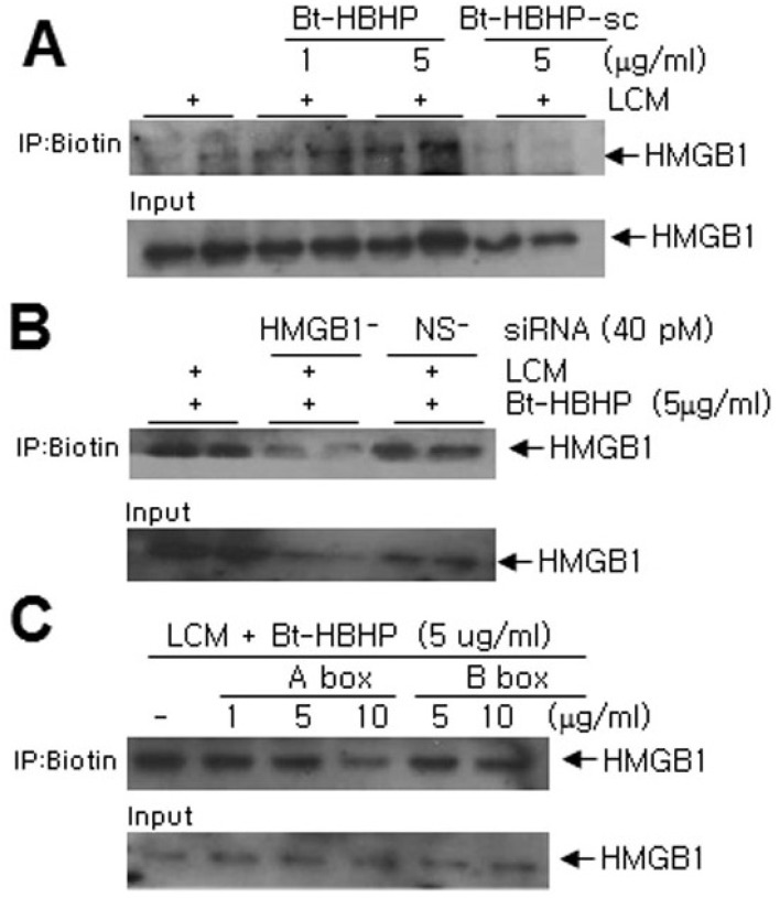 HBHP bound to HMGB1 in LCM. (A) LCM was incubated with biotinylated-HBHP (Bt-HBHP; 1 or 5 µg/ml) or with biotinylated-scrambled peptide (Bt-HBHP-sc; 5 µg/ml) for 4 hrs and pull-down assays were performed using streptavidin agarose beads. Amounts of HMGB1 were determined by immunoblotting using anti-HMGB1 antibody. (B) LCM was collected from HMGB1 siRNA (HMGB1-; 40 pM)- or nonspecific siRNA (NS-; 40 pM)-transfected microglia cultures and pull-down assays were performed after incubating LCMs with biotinylated-HBHP. (C) Biotinylated-HBHP (5 µg/ml) was incubated with LCM in the presence of 1, 5, or 10 µg/ml of HMGB1 A box or 5 or 10 µg/ml of HMGB1 B box and pull-down assays were performed. Input controls before immunoprecipitations were presented by immunoblotting with anti-HMGB1. Results are representative of three independent experiments.