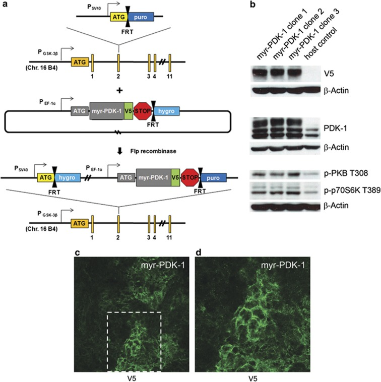Modified Flp-In system. ( a ) A targeting vector is introduced to knock out a single allele of GSK-3β and create a host cell line with a FRT-puro cassette. Co-transfection of Flp recombinase and a gene of interest previously cloned into a vector containing a V5 epitope and FRT-hygro cassette results in homologous recombination at the FRT sites. Positive colonies are resistant to <t>hygromycin</t> and sensitive to puromycin. ( b ) Western blot analysis of transgenic myr-PDK-1 cell lines. ( c ) Membrane localization of myr-PDK-1 by immunofluorescent staining of V5; confocal, × 40 magnification.