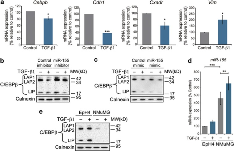 Depletion of C/EBPβ during TGF-β1-induced EMT by miR-155. ( a ) Results from qPCR analysis of the effect of TGF-β1 (10 ng/ml, 24 h) on mRNA levels of Cebpb , Cdh1 , Cxadr and Vim relative to control, which was normalized to 100%. Data are mean ±s.e.m. of three independent experiments. ( b , c ) Immunoblotting analysis of the effect of a miR-155 inhibitor ( b ) and a miR-155 mimic ( c ) on the repression of C/EBPβ during TGF-β1-induced EMT (5 ng/ml, 24 h). ( d ) Results from qPCR analysis of the expression of miR-155 in EpH4 and NMuMG cells at baseline and after treatment with TGF-β1 (10 ng/ml, 24 h). ( e ) Immunoblotting analysis of the relative expression levels of C/EBPβ in EpH4 and NMuMG cells at baseline and after treatment with TGF-β1 (10 ng/ml, 48 h). Calnexin was used as a loading control for all immunoblotting experiments. * P