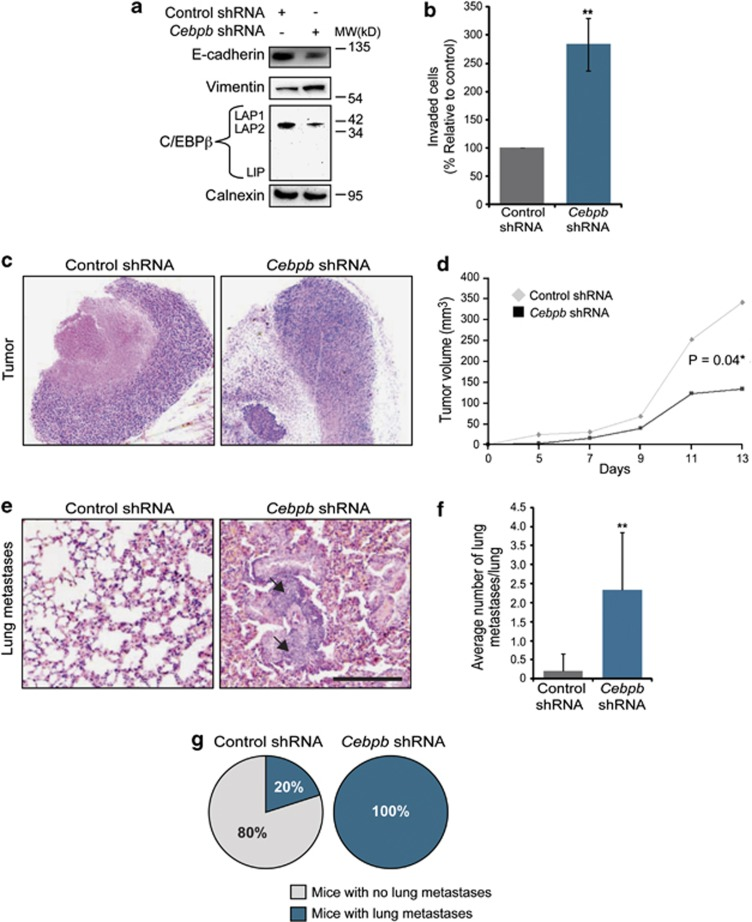 Loss of C/EBPβ promotes invasion and metastatic spread of mammary tumor cells. ( a ) Immunoblotting results showing the effect of overexpression of Cebpb shRNA on the expression of E-cadherin, vimentin and C/EBPβ in 4T1 cells. Calnexin was used as a loading control. ( b ) Bar graph showing the effect of C/EBPβ knockdown through expression of Cebpb shRNA on the capacity of 4T1 cells to migrate through Matrigel using TGF-β1 (10 ng/ml) as a chemoattractant. Data are presented as percentage values compared with controls that were set to 100. ** P