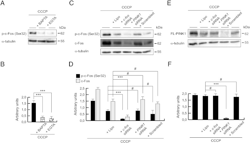 c-Fos-independent expression of PINK1 after CCCP exposure. (A and B) SH-SY5Y cells were preincubated 1 h with 5 μM BAPTA-AM or 500 μM EGTA, exposed 3 h with 10 μM CCCP, harvested by trypsinization and lysed. The protein levels of p-c-Fos (Ser32) were determined by Western-blotting. α-tubulin expression was used as a loading control. (A) Representative blot of at least three independent experiments. (B) Densitometry of each band expressed in arbitrary units of intensity (***p ≤ 0.001). (C–F) SH-SY5Y cells were transfected with c-fos siRNA, PINK1 siRNA or scrambled control siRNA for 2 days and treated with 10 μM CCCP, harvested by trypsinization at different times and lysed. The protein levels of p-c-Fos (Ser32), c-Fos and PINK1 were determined by Western-blotting. α-tubulin expression was used as a loading control. (C) Representative blot of at least three independent experiments, from 3 hour-CCCP-treated cells. (D) Densitometry of each band expressed in arbitrary units of intensity (#p > 0.05; ***p ≤ 0.001). (E) Representative blot of at least three independent experiments, from 24 hour-CCCP-treated cells. (F) Densitometry of each band expressed in arbitrary units of intensity (#p > 0.05; ***p ≤ 0.001). Molecular mass is indicated in kDa next to the blots. Data were expressed as mean ± SEM; n = 3.