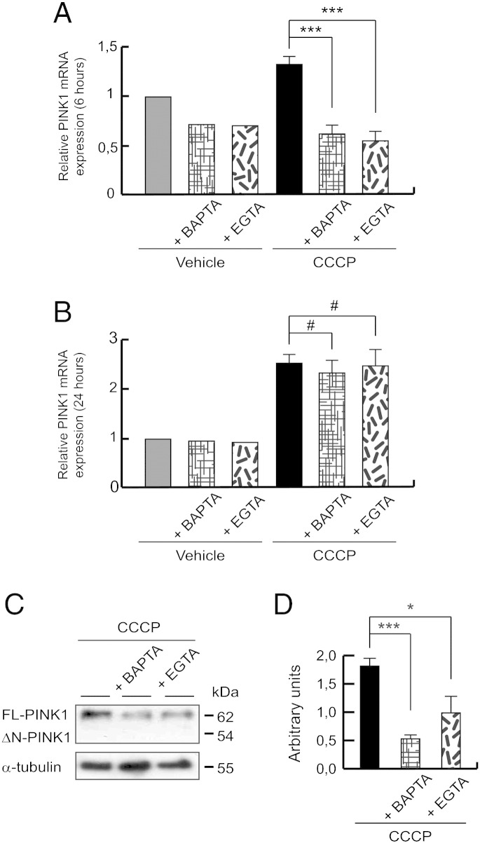 PINK1 calcium-dependent gene expression. (A and B) SH-SY5Y cells were preincubated 1 h with 5 μM BAPTA-AM or 500 μM EGTA, exposed 6 or 24 h with 10 μM CCCP or with vehicle (0.05% (v/v) ethanol), and PINK1 mRNA levels measured by reverse transcription and quantitative PCR. Relative expression was determined using GAPDH as housekeeping gene antibody. (A) Relative PINK1 mRNA expression after 6 hour CCCP exposure and calcium chelation (***p ≤ 0.001). (B) Relative PINK1 mRNA expression after 24 hours of CCCP treatment and calcium chelation (#p > 0.05). (C and D) SH-SY5Y cells were preincubated 1 h with 5 μM BAPTA-AM or 500 μM EGTA, exposed 24 h with 10 μM CCCP, harvested by trypsinization and lysed. The protein levels of PINK1 were determined by Western-blotting. α-tubulin expression was used as a loading control. (C) Representative blot of at least three independent experiments. (D) Densitometry of each band expressed in arbitrary units of intensity (*p ≤ 0.05; ***p ≤ 0.001). Molecular mass is indicated in kDa next to the blots. Data were expressed as mean ± SEM; n = 3.