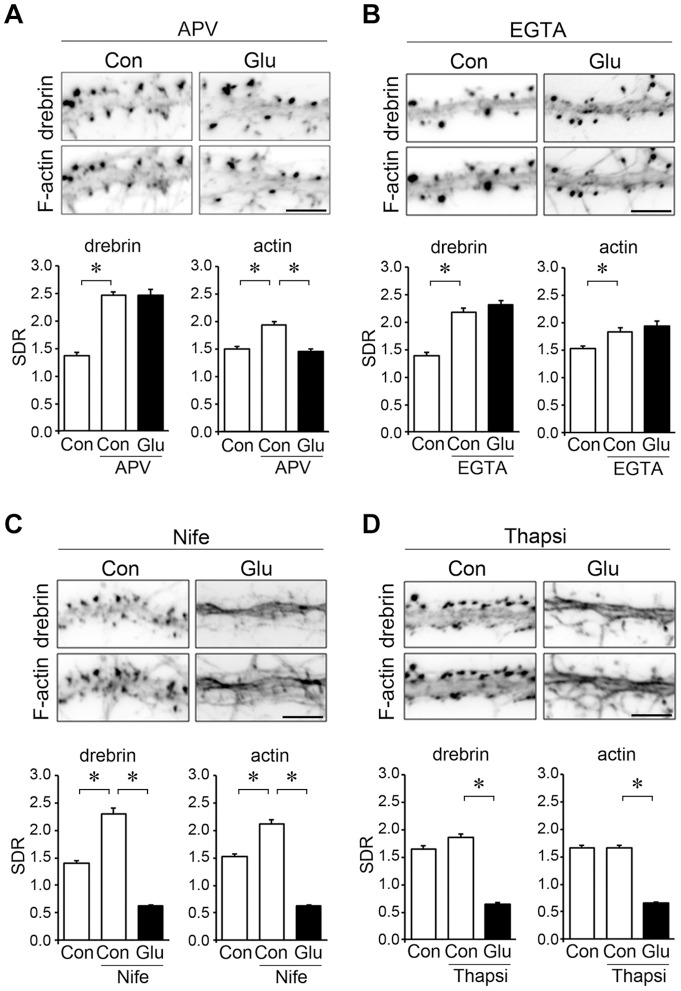 Effects of various inhibitors of Ca 2+ entry on DA-actin distribution. Neurons (21 DIV) were incubated in normal medium containing 50 µM APV (A), 20 mM EGTA (B), 20 µM nifedipine (C), or 1 µM thapsigargin (D) for 30 min. The neurons were then stimulated with 100 µM glutamate for an additional 10 min. F-actin images indicate that spines kept their structure during the experiment although their shapes were changed. Scale bars, 5 µm. ( A ) APV pretreatment significantly increased both the drebrin and actin SDRs (n = 30 cells; p