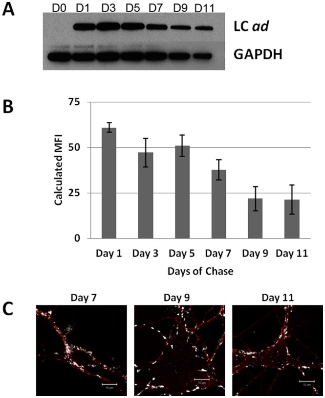 Intraneuronal persistence of LC ad . E19 rat hippocampal neurons were cultured in maintenance medium for 10°C to 50 nM BoNT/A ad . After incubation, cells were washed twice with maintenance medium to remove residual BoNT/A ad and chased with the fresh medium for 1 to 11 days. Panel A: Western blot analysis of LC ad (mAb F1-40). GAPDH was used as a loading control. Panel B: Flow cytometric quantification of the LC ad signal at different days of chase. Panel C: Immunostaining for tau (red, anti- tau mouse monoclonal IgG 2b , Cat # 610672, BD Biosciences) and LC ad (white). Scale is 10 µm.