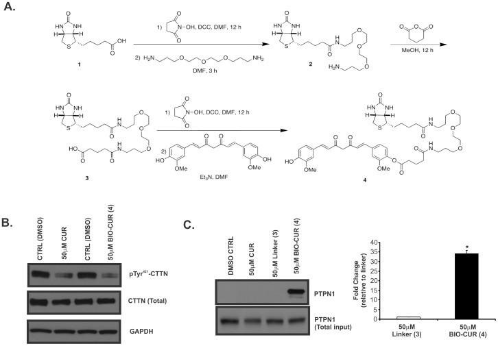 Curcumin physically interacts with PTPN1. ( A ) Synthesis of biotinylated curcumin derivative. ( B ) Comparison of the effects of unmodified curcumin (CUR) and biotinylated curcumin (BIO-CUR) in equimolar concentrations (50 µM) on pTyr 421 -CTTN in HCT116 cells treated for 15 min. GAPDH served as a loading control. ( C ) Western blot analysis (left panel) and quantitative densitometry of the PTPN1 protein from pull-down experiment with biotinylated crcumin. HCT116 cell lysates were prepared with RIPA buffer and combined with curcumin (CUR), biotin linker (compound 3), or biotinylated curcumin (BIO-CUR; compound 4; all at 50 µM) for 30 min at room temperature. Protein fraction recovered with streptavidin agarose beads was analyzed by western blotting for the presence of PTPN1. The data in the summary graph are expressed as fold change compared to linker treated samples from more extended exposures to visualize background PTPN1 signal (mean ± SD). * p