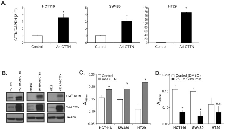 Overexpression of cortactin promotes migration in colon cancer cells; inhibition by curcumin. Ectopic expression of cortactin was accomplished by adenoviral delivery (Ad-CTTN) and elevated expression confirmed by qRT-PCR ( A ) and western blotting ( B ). ( C ) Enhanced migration of HCT116, SW480, and HT29 cells transduced with Ad-CTTN. ( D ) HCT116, and SW480, but not HT29 cells treated with curcumin showed significantly reduced migration. * p