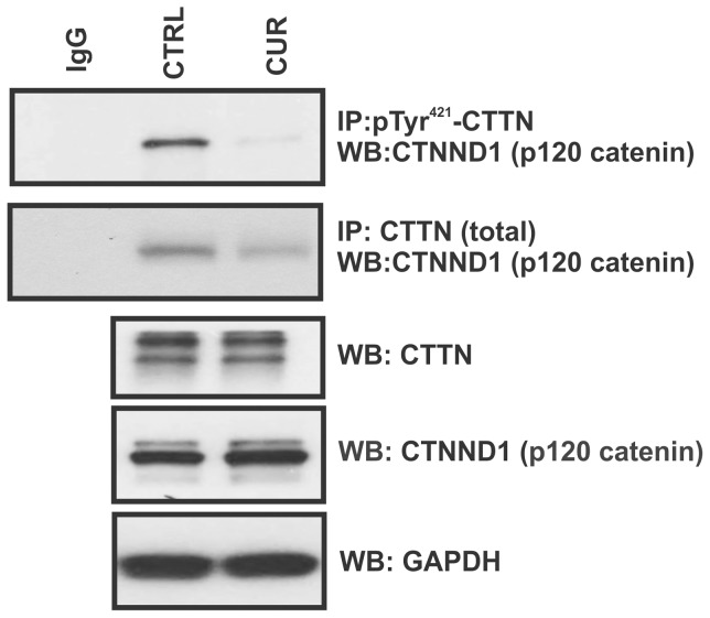 Curcumin impairs the physical interaction between cortactin and p120 catenin (CTNND1). HCT116 cells were treated with 50 µM curcumin for 15 min and pre-cleared lysates were immunoprecipitated using anti- pTyr 421 -CTTN or anti-CTTN (total) rabbit polyclonal antibodies. Immunoprecipitated complexes were analyzed by Western blotting for the presence of CTNND1. Lower three panels demonstrate even input of CTTN, CTNND1 and GAPDH in the cell lysates used for co-immunoprecipitation. All images representative of three independent experiments.