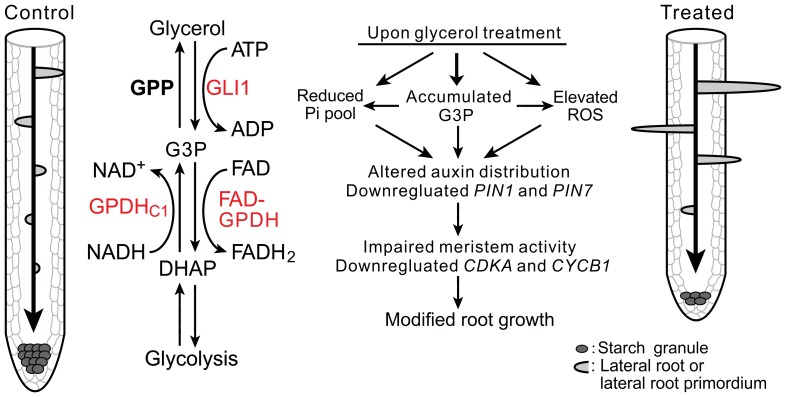 A model illustrating glycerol-triggered modulation of root development. The diagram shows the different root patterns in the absence (left) or the presence (right) of glycerol. The middle section shows a condensed schematic of plant glycerol metabolism and three important genes in this study (red). Glycerol is phosphorylated to <t>G3P</t> by GLI1 and can also be generated by GPDHc1 via the reduction of DHAP. G3P is oxidized to DHAP by FAD-GPDH or dephosphorylate to glycerol by GPP. Exogenous glycerol treatment can cause modifications of multiple pathways, including increased G3P and reactive oxygen species (ROS) levels, reduced the phosphate level and expression of PIN1 and PIN7 . It also affected polar auxin transport and the root meristem activity, thus resulting in modified root growth and development. Abbreviations: GLI1, glycerol kinase; GPDHc1, cytosolic glycerol-3-phosphate dehydrogenase; FAD-GPDH, flavin adenine dinucleotide-dependent glycerol-3-phosphate dehydrogenase; GPP, glycerol-3-phosphatase; G3P, glycerol-3-phosphate; DHAP, dihydroxyacetone phosphate; ATP, adenosine triphosphate; FAD, flavin adenine dinucleotide; NADH, the reduced form of nicotinamide adenine dinucleotide. For the sake of clarity, some co-substrates and/or co-products have been omitted in some reactions.