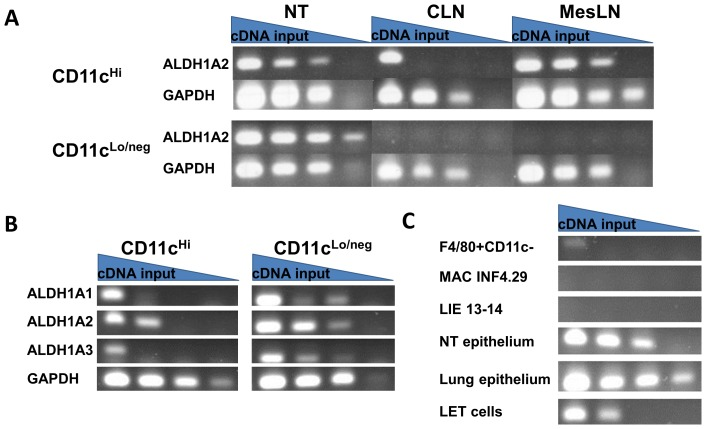 URT cells express ALDH1A mRNA. RNA was extracted from cells and cDNA was synthesized using oligo-dT 20 primers. Serial 1∶10 dilutions of the cDNA were used for PCR amplifications. Gels were loaded from left to right with PCR products from serially diluted cDNA. The left-most columns were representative of products from ∼1×10 3 cells. Panel A. Results are shown for NT cells (see Materials and Methods), cervical lymph nodes (CLN) and mesenteric lymph nodes (MesLN) of naïve C57BL/6 mice, separated into CD11c Hi and CD11c Lo/neg populations and tested for ALDH1A2 and GAPDH mRNA. Panel B. CD11c Hi and CD11c Lo/neg NT populations were tested for ALDH1A1, ALDH1A2, ALDH1A3 and GAPDH mRNA. Panel C. Cells were tested for ALDH1A2 mRNA. Samples included NT cells that had been FACS-sorted for the F4/80 + CD11c - CD11b + phenotype (abbreviated 'F4/80+CD11c-'), two macrophage lines MAC INF4.29 and LIE 13–14, NT cells or lung cells enriched for epithelium by negative selection and short-term culture (see Materials and Methods), and LET cells. On a per-cell basis, the highest ALDH1A expression levels were among CD11c Lo/neg cell populations.