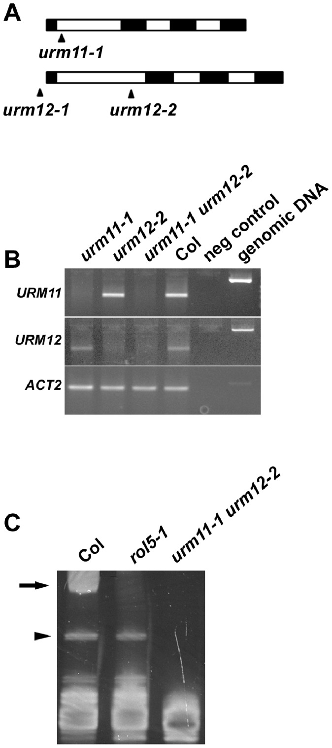 urm11 urm12 double mutant fails to thiolate tRNAs. (A) Schematic structure of URM11 and URM12 . Black boxes represent exons and white boxes introns. T-DNA insertions are highlighted by black arrows and are located in the first intron for urm11-1 and urm12-2 , which were further analyzed. (B) RT-PCR on total RNA of entire seedlings revealed absence of URM11 and URM12 mRNA in the corresponding mutants. The ACTIN2 gene was amplified as a control for comparable RNA extraction efficiency. PCR on genomic DNA reveal larger products due to introns. (C) The urm11-1 urm12-2 double mutant is impaired in tRNA thiolation. In the presence of APM, thiolated tRNAs show slower migration in an acrylamide gel, non-thiolated tRNAs migrate faster (bottom of the gel). In contrast to the wild type, rol5-1 and urm11-2 urm12-2 mutants lack thiolated tRNAs (arrow). Bands of unknown nature (arrowhead) occasionally occurred. Representative examples of several independent experiments are shown. Col: wild-type Columbia.