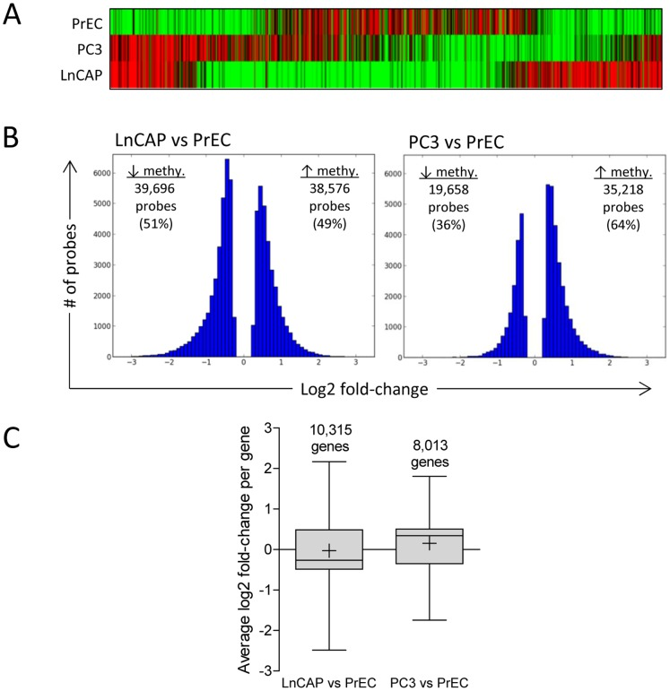 """Genome-wide promoter methylation profiling comparing normal prostate epithelial cells and prostate cancer cells. (A) Hierarchical clustering analysis of probes with significant scaled log 2 ratio in PrEC, LnCAP, and PC3 cells. Green and red bars represent individual probes with significant decreased and increased methylation, respectively, of MeDIP DNA samples relative to input DNA samples. Data represent the top 1,000 most significant probes within each cell line. (B) A comparison of methylation changes in LnCAP and PC3 cells relative to PrEC cells. Significant methylated probes in LnCAP and PC3 cells were compared to PrEC, and the distribution of probes with significant log2 fold-changes are shown. (C) Average methylation level in individual genes in LnCAP and PC3 cells compared to PrEC. Log2 fold-change per gene was determined by averaging the log2 fold-change of all differentially methylated probes assigned to each gene, and represented as box and whisker plots. Number above the bar denotes the number of genes in each group. Whiskers represent maximum and minimum values, and """"+"""" represents mean value."""