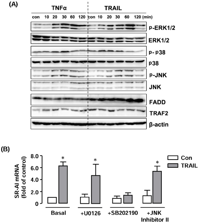 Role of MAPKs in TRAIL-induced SR-AI expression. ( A ) Western blot showing the effects of TRAIL (10 ng ml −1 ) on phosphorylation of ERK1/2, p38 and JNK MAPKs in RAW264.7 cells. TNF-α (20 ng ml −1 ) was used as a positive control. The total levels of FADD or TRAF2 were not changed. ( B ) Effects of the ERK pathway inhibitor U0126 (1 µM), p38 inhibitor SB202190 (1 µM) and JNK Inhibitor II (1 µM) on TRAIL-stimulated SR-AI expression. The results are expressed as fold of control (Con). * P