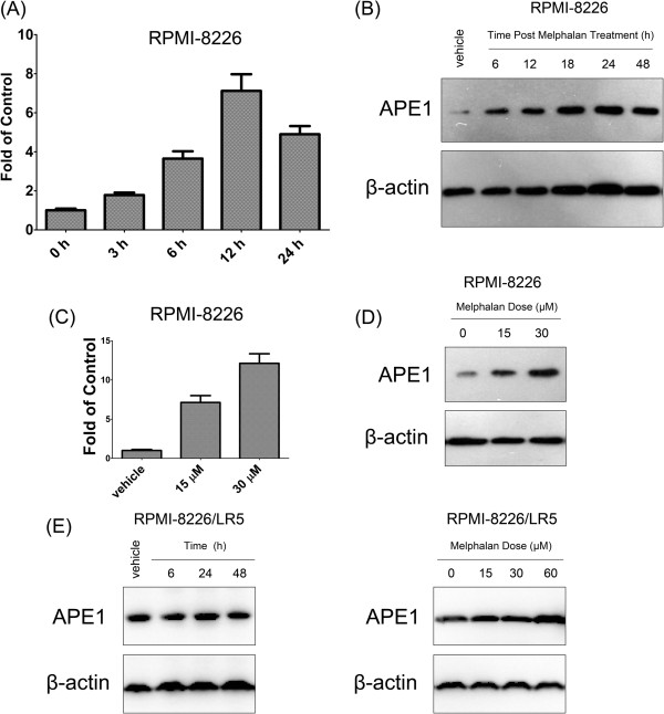 APE1 responds to melphalan treatment. Both mRNA and protein levels were elevated after melphalan treatment in a time course in RPMI-8226 cells. Quantitative PCR results are shown as a bar graph in (A) and representative Western blot images are shown in (B) . In addition, expression of APE1 mRNA (C) and protein (D) levels increased in a melphalan dose dependent manner. (E) APE1 protein level alterations in melphalan-resistant line RPMI-8226/LR5 were tested by Western blot at different time points post 15 μM melphalan treatment (left panel) or at 24 hours post various doses of melphalan treatment (right panel). All quantitative RT-PCR results were statistically processed from three independent experiments, and the blot is a representative of three independent Western blots. Stars (*) represent that the difference between the indicated group and DMSO (vehicle) treated RPMI-8226 is statistically significant ( p