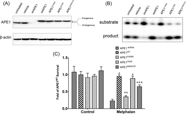 Differential involvement of various APE1 functions in melphalan-resistanct MM cells. (A) The protein expression levels of APE1 mutants were assayed by Western blot and the results indicated that the exogenous protein levels were comparable in APE1 WT , APE1 H309N , APE1 C65S and APE1 K6R/K7R cell lines. (B) The AP endonuclease activities of the whole cell extracts from APE1 shRNA and exogenous APE1-expressing cells were measured by oligo incision assay. The representative image out of three experimental repeats was shown. (C) Cell survival of different APE1 mutant-transfected groups was measured by CCK-8 assay after various doses of melphalan treatment. All results were from three independent experiments and * represents that the difference between the indicated group and the APE1 WT group is statistically significant ( p