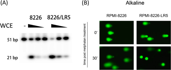 DNA repair activity of APE1 plays a critical role in melphalan resistance of MM cells. (A) The difference in DNA repair activity of APE1 between RPMI-8226/LR5 and RPMI-8226 cells was analyzed using AP site incision assay. The results indicated that the RPMI-8226/LR5 cells possess a higher AP endonuclease activity than its parental line. (B) The overall DNA repair activity for single DNA strand breaks was assayed by the alkaline comet assay. Cell suspensions from both RPMI-8226/LR5 and RPMI-8226 cells were treated with 15 μM melphalan on ice for 20 min, then the comet assay was performed immediately or after a 30 min repair in culture medium in a 37°C incubator. Representative images are shown.