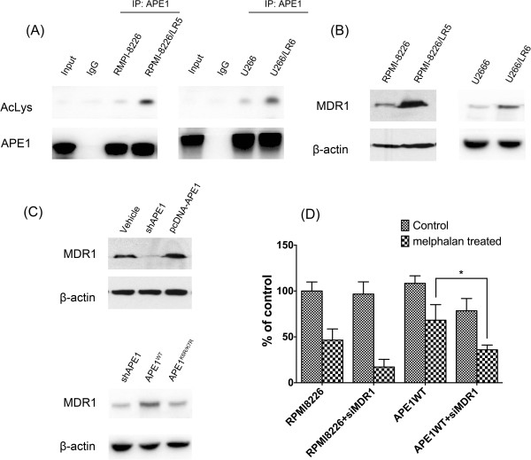 MDR1 expression is aberrant in APE1 acetylation site mutant expressing MM cells. (A) At 2 hours after melphalan treatment, APE1 was enriched by pulldown and blotted with anti-lysine acetylation antibody. (B) The Western blot showed expression levels of MDR1 in RPMI-8226/LR5, U266/LR6 and their parental cell lines RPMI-8226 and U266. The representative blots showed that melphalan resistant cells have higher expression levels of MDR1. (C) MDR1 protein expression was detected by Western blot at 48 hours after APE1 siRNA or pcDNA-APE1 was transfected into RPMI-8226 cells. MDR1 expression was downregulated after knockdown of APE1 in RPMI-8226 cells, and MDR1 was upregulated after overexpression of APE1. In addition, APE1 WT or APE1 K6R/K7R was transfected 24 hours after APE1 shRNA infection. 48 hours later, MDR1 levels were detected by Western blot. (D) MDR1 siRNA was applied to the pcDNA-APE1 transfected RPMI-8226 cells at 48 hours post 15 μM melphalan treatment, and cell viability was measured by a CCK-8 kit. The results were from three independent experiments.