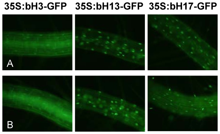 Sub-cellular localization of bHLH003, bHLH013 and bHLH017. Microscopy images of GFP signal detected in root cells of transgenic Arabidopsis transgenic plants over-expressing bHLH003-GFP, bHLH013-GFP or bHLH017-GFP and grown for ten days in media supplemented (A) or not (B) with 50 µM JA for 3 h.