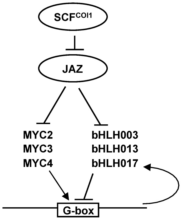Schematic model of the role of bHLHs within the JA signaling pathway. In the absence of JA-Ile, JAZ repressors are stable and interact with MYC2, MYC3 and MYC4 as well as bHLH003, bHLH013 and bHLH017. JAZs are part of a repression complex that comprises NINJA and TOPLESS (not shown). Upon a stimulus, hormone is perceived by the COI1/JAZ co-receptor and JAZ proteins are targeted for degradation by the proteasome. Once released from JAZ, MYC2, MYC3 and MYC4 will activate transcription, whereas bHLH003, bHLH013 and bHLH017 will repress it. Both sets of proteins (MYCs and bHLHs) compete for the G-box and, therefore, the output response will depend on the balance of activity between these two sets of TFs. Moreover, bHLH017 expression is activated by MYC2, therefore increasing the effective repressor over time and further contributing to reduce transcriptional activation.