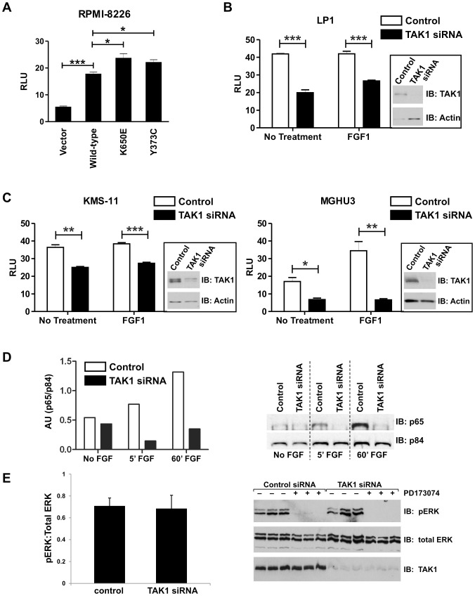 TAK1 knockdown inhibits FGFR3-dependent NFκB activation. ( A ) 8226 (FGFR3 negative) MM cells were transfected with 5 µg FGFR3 constructs or empty vector, and NF-κB-Luc and pRL-TK control Renilla reporter at a ratio of 3∶1, respectively for 48 hours. Cells were then lysed and assayed for dual-luciferase activity. ( B, C ) FGFR3-expressing bladder and MM cell lines were transfected with control or TAK1 siRNA, and 24 hours later with κB-Luc and pRL-TK control Renilla reporter at a ratio of 3∶1. The following day, cells were serum-starved overnight and treated with ligand (FGF1) for 8 hours prior to lysis and dual-luciferase assay. ( D ) MGHU3 cells were transfected with TAK1 or non-targeting siRNA for 48 hours, serum starved overnight then treated with FGF1 ligand for the time indicated. Cells were then fractionated, and 10 µg of nuclear fraction was run on an SDS-page gel and western blotted. Blots were probed with anti-p65 and anti-p84 (nuclear marker) antibodies. Densitometry was performed and p65 measurements were normalized to p84 measurements. ( E ) FGFR3 signaling is not altered by TAK1 knockdown. KMS11 cells were transfected with control or TAK1 siRNA and, 24 hours later, treated with or without FGFR inhibitor, PD173074 for an additional 24 hours. Western blots were probed with p-ERK, total ERK and TAK1 antibodies. Statistical analysis was performed using a t-test; (*) p