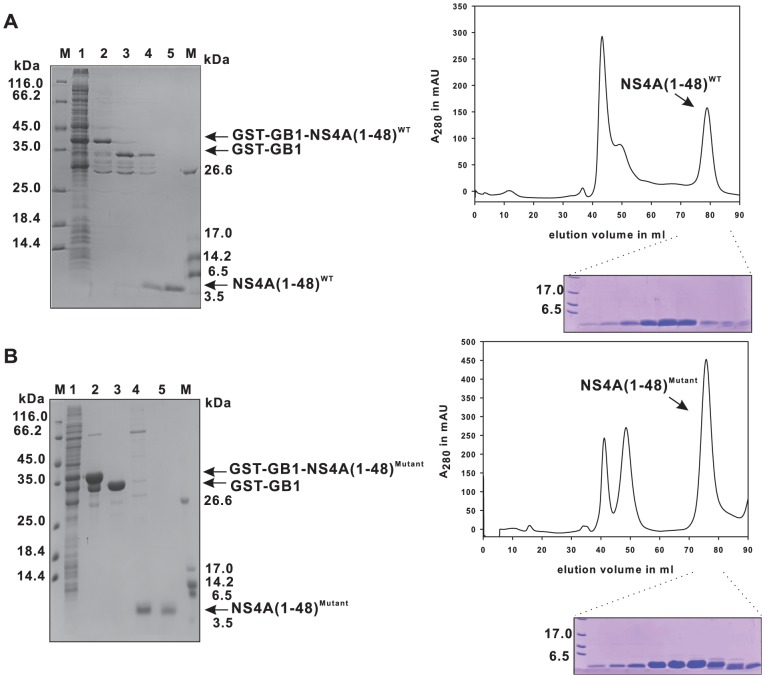 Purification of recombinant NS4A(1–48) wild type and mutant peptides. The 15% SDS-PAGE gel containing samples from various steps in the purification procedure is shown on the left. The wild type peptide is shown in (A) while the mutant is shown in (B). The supernatant after cell lysis is shown in lane 1. The lysate containing the peptide was loaded on a GSH sepharose column (lane 2), and cleaved by TEV protease on the column, the cleaved protein is shown in lane 3. The GSTfusion tag remained bound to the column, while the NS4A(1–48) peptide was collected from the flow-through (lane 4). The peptide was further purified by size exclusion chromatography (lane 5). The mutant peptide was purified using the same strategy (B). The respective size exclusion chromatography profiles (HiLoad 16/60 Superdex 75 prep grade) of the flow-through fraction from the TEV protease on column cleavage step - mainly containing TEV protease and NS4A(1–48; L6E, M10E) or NS4A(1–48) peptides - are shown on the right with the matching SDS-PAGE analysis of the NS4A containing fractions.