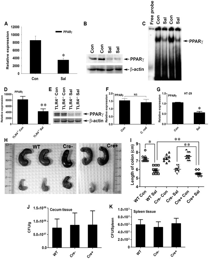 S. Typhimurium down-regulates PPARγ while inducing colitis in C57BL/6 mice. (A, B, and C) Groups of 8–10-week-old streptomycin-pretreated C57BL/6 mice were mock- (Con) or S. Typhimurium-infected (Sal) and sacrificed after 24 h (10 mice per group). PPARγ expression in colonic scrapings was analyzed by real-time PCR (A) and by immunoblotting (B). (C) Electromobility shift assay of PPARγ activity in the nuclear extracts of colonic scrapings. (D and E) Age-matched, streptomycin-pretreated TLR4 −/− mice were mock- or S. Typhimurium-infected and sacrificed after 24 h (5 mice per group). Colonic expression of PPARγ was analyzed by real-time PCR (D) or immunoblotting (E). (F) Metronidazole-pretreated C57BL/6 mice were mock- or Citrobacter rodentium -infected, sacrificed 6 days after infection, and PPARγ expression in the colon was analyzed by real-time PCR. (G) HT-29 cells were mock- or S. Typhimurium-infected for 6 h, incubated for another 18 h without the pathogen, and PPARγ expression was analyzed by real-time PCR. (H) Macroscopic image of whole cecum after mock or S. Typhimurium infection in C57BL/6 (WT), PPARγVillinCre− (Cre−), or PPARγVillinCre+ (Cre+) mice. (I) Quantitation of colon lengths in the respective mouse groups. Recovery of S. Typhimurium from cecum tissue (J) and spleen (K) 24 h after infection. Error bars depict ± standard error of the mean. *p