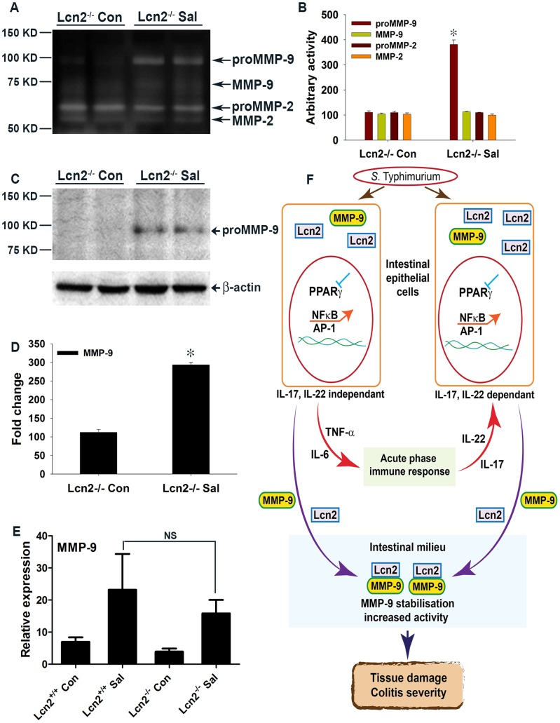 Mechanism of S. Typhimurium-induced intestinal damage during colitis. (A) Secretion of <t>MMP-9</t> and MMP-2 in the colons of mock (Con)- or S. Typhimurium (SaI)-infected Lcn2 −/− mice was analyzed by gelatin zymography using gelatin-agarose-purified PBS extracts (6–8 mice per group). (B) Quantitation of gelatinolytic activities from the zymogram in panel A and from another representative zymogram from independent experiments. (C) MMP-9 protein levels in the colons of mice from the respective groups were assessed by immunoblotting purified PBS extracts under non-reducing conditions. Flow-through from the purification was used as a loading control. (D) Quantitation of changes in protein levels from the immunoblot in panel C and from another representative blot from independent experiments. (E) MMP-9 expression levels in the colons of mock- or S. Typhimurium-infected Lcn2 +/+ and Lcn2 −/− mice were measured by real-time PCR. Error bars = ± standard error of the mean. *p
