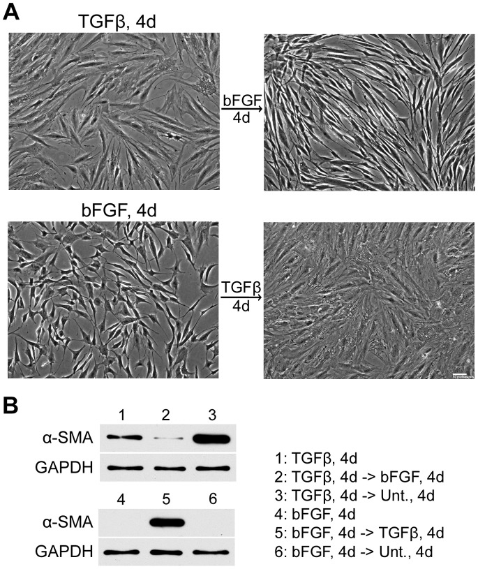 Growth factor-induced myofibroblast differentiation is reversible. (A) Phase images are shown of ADSCs treated with TGF-β (TGF-β, 4d) or with bFGF (bFGF, 4d) for 4 days (left). SSFM containing bFGF was added to TGF-β-differentiated cells and TGF-β was added to bFGF-differentiated cells. Phase images were captured after 4 days (right). Images are representative of more than three independent experiments. Scale bar = 50 µm. (B) Lysates were prepared from cells grown under the six indicated conditions and were used for immunoblots with anti-α-SMA monoclonal antibody. GAPDH was used as the loading control. Blot is representative of three independent experiments. Legend indicates cell treatments in lanes 1–6. Unt., 4d = untreated for 4 days.