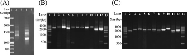 PCR amplification of the mitochondrial (mt) minichromosomes of the Polyplax rat lice. (A) Lane 1: GeneRuler®100 bp DNA Ladder (Thermo Scientific). Lane 2: PCR amplicons generated with primer pair 57F-57R that spans the coding region of each mitochondrial (mt) minichromosome of Polyplax asiatica . Lane 4: PCR amplicons generated with primer pair 301F-301R that spans the coding region of each mt minichromosome of Polyplax spinulosa . (B) PCR verification of the mt minichromosomes of Po. asiatica . Lane 1 and 13: 500 bp DNA Ladder (TIANGEN). Lane 2–12: PCR amplicons from the 11 minichromosomes of Po. asiatica : atp8 - atp6 , trnE - cob - trnI , cox1 - trnL 2 ( taa ), trnD - trnY - cox2 - nad6 , trnR - nad4L - cox3 - trnA , trnS 1 ( tct )- trnS 2 ( tga )- nad1 - trnT - trnG - nad3 - trnW , trnQ - nad2 - trnN - trnP , trnK - nad4 - trnF , trnH - nad5 , rrnS - trnC , trnM - trnL 1 ( tag )- rrnL - trnV . (C) PCR verification of the mt minichromosomes of Po. spinulosa . Lane 1 and 13: 500 bp DNA Ladder (TIANGEN). Lane 2–12: PCR amplicons from the 11 minichromosomes of Po. spinulosa : atp8 - atp6 , trnE - cob - trnI , cox1 - trnL 1 ( tag ), trnT - trnD - trnY - cox2 - nad6 - trnA , trnR - nad4L - trnP - cox3 , nad1 - trnG - nad3 - trnW , trnQ - nad2 - trnN , trnK - nad4 , trnH - nad5 - trnF , trnS 1 ( tct )- trnS 2 ( tga )- rrnS - trnC , trnM - trnL 2 ( taa )- rrnL - trnV . Genes from which PCR primers were designed are in bold.
