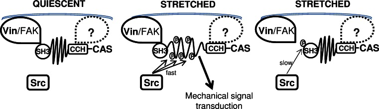 Model for regulation of CAS-dependent mechanosensing. CAS is anchored in focal adhesions by N-terminal SH3 and C-terminal CCH domains [ 22 , 24 ]. In quiescent cells, the substrate domain of CAS adopts a compact structure ( left ). Mechanical stretch leads to extension of the CAS substrate domain and subsequent phosphorylation by Src, which activates CAS-mediated mechanotransduction signals ( middle ). Src phosphorylation of CAS on tyrosine 12 blocks CAS–vinculin binding, and the substrate domain returns to a compact structure. CAS-mediated mechanotransduction is attenuated ( right ) either by a gradual loss of substrate domain phosphorylation or by making the phosphorylated tyrosines in the substrate domain inaccessible for downstream signaling proteins