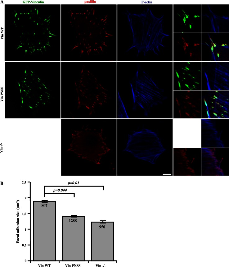 CAS–vinculin interaction affects focal adhesion size. a Vin−/− MEFs re-expressing either Vin WT or Vin PNSS C-terminally fused with GFP were grown on fibronectin-coated coverslips and stained for paxillin (focal adhesion marker) and F-actin. Focal adhesion size was determined using ImageJ software. Scale bar 10 μm ( b ). The histogram bars represent average size of adhesion structures in cells deficient in vinculin, or re-expressing either Vin WT or Vin PNSS mutant. Numbers in columns indicate number of analyzed focal adhesions