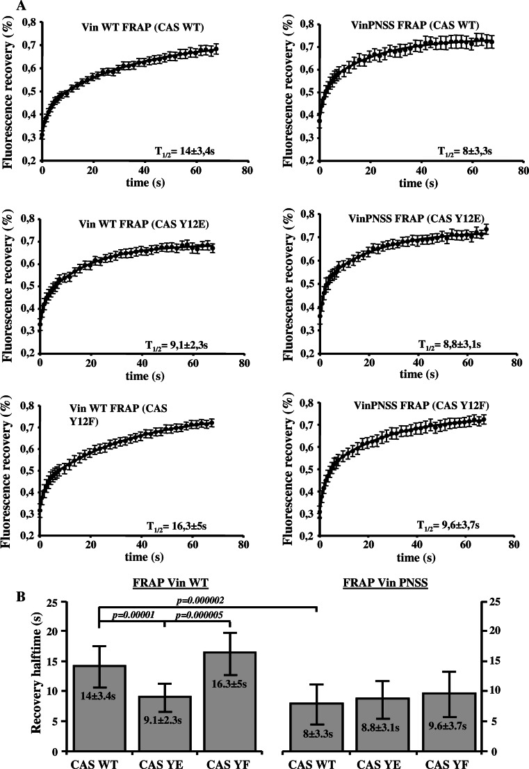 Dependence of vinculin dynamics on CAS–vinculin interaction. a FRAP curves of GFP-vinculin WT ( left side ) or GFP-vinculin PNSS ( right side ) associated with focal adhesions in CAS−/− MEFs re-expressing indicated CAS variants. Numbers in plot indicate average half-maximum recovery times ( t 1/2). b The bar plot shows half-maximum recovery times of GFP-fused Vin WT ( left ) and GFP-vinculin PNSS ( right ) in CAS−/− MEFs re-expressing indicated CAS variants. Error bars represent standard errors