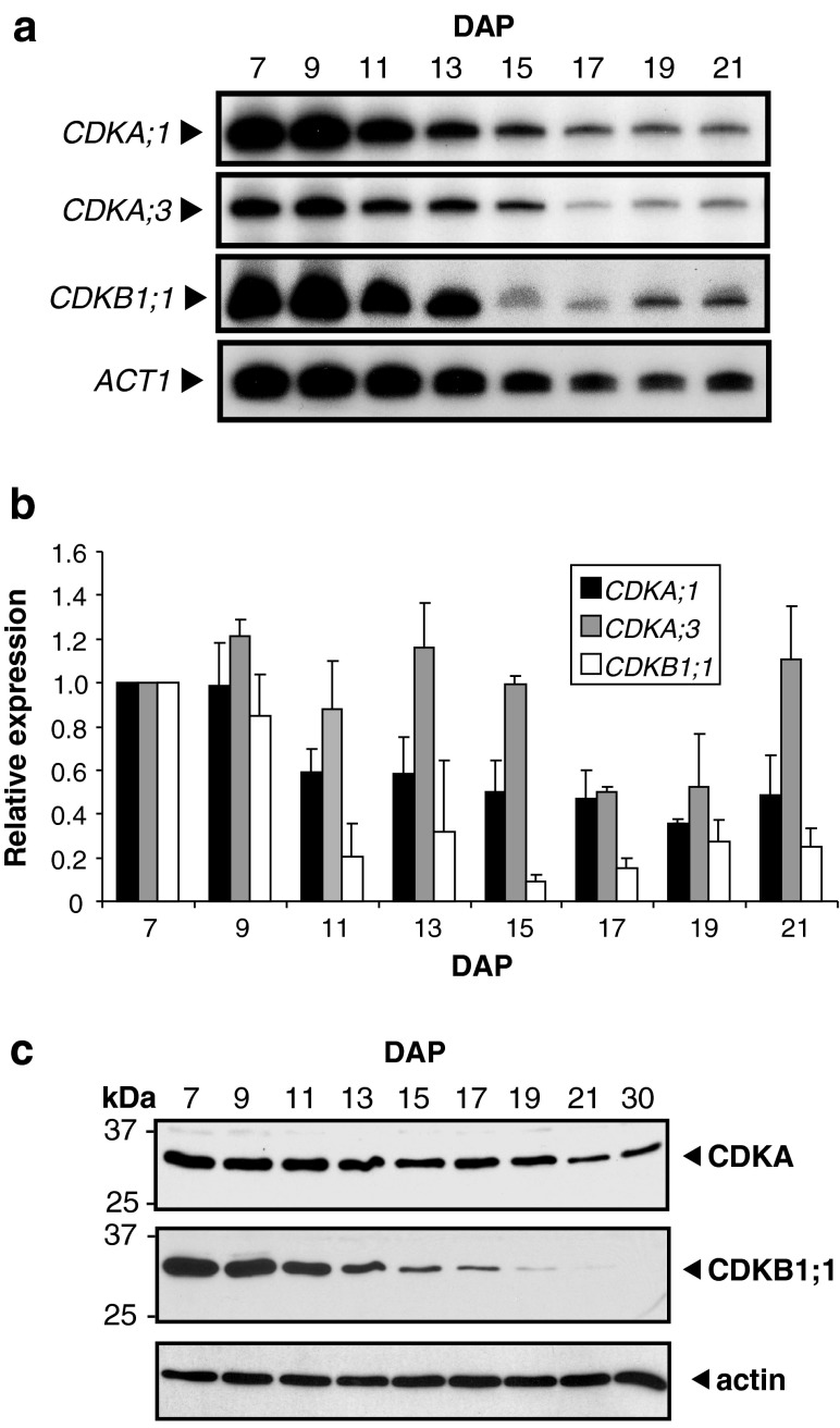 CDK expression levels during maize endosperm development. a CDK and actin RNA levels during endosperm development. RT-PCR was performed on total RNA isolated from endosperm at different developmental stages (indicated by DAP) with CDK- or ACT1 -specific primers. Reaction products were separated by electrophoresis and exposed to a Phosphorscreen. b CDK RNA levels relative to actin RNA in developing endosperms. Signal from amplicons from two independent experiments was quantified and expression was normalized relative to 7 DAP, which is considered one expression unit. Error bars show standard error of the means. c Immunoblot analysis of CDKs present during maize endosperm development. Total soluble protein extracted from endosperm at different developmental stages (indicated by DAP) was separated by SDS-PAGE and immunoblotted with affinity-purified antibodies as indicated on the right. An immunoblot with actin antibody is shown as the loading control