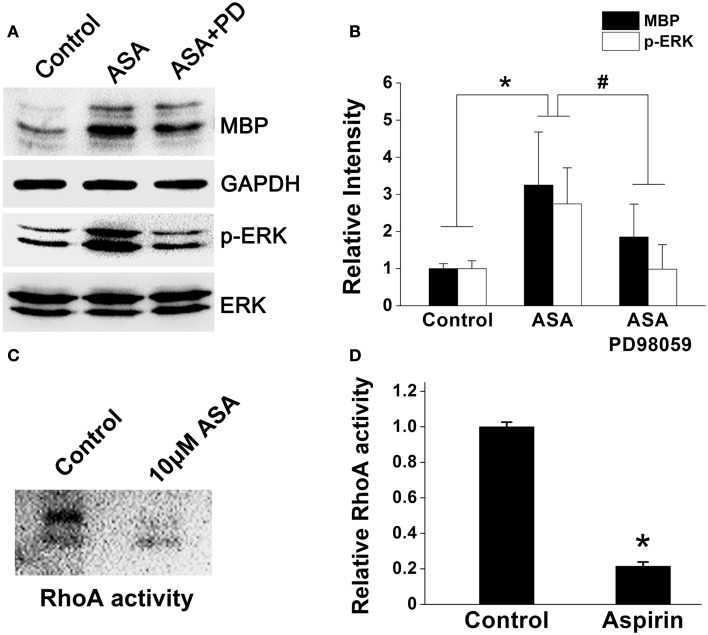 Aspirin enhances ERK but inhibits RhoA activities . (A) Western blot analysis of MBP, phospho-ERK1/2, and total-ERK1/2 protein levels from cultured OPCs treated with ethanol, 10 μM aspirin, or 10 μM aspirin plus ERK1/2 inhibitor PD98059. Note that aspirin can enhance ERK activity as revealed by phospho-ERK1/2 protein level. GAPDH was used as an internal control. (B) Quantitation of MBP, and phospho-ERK1/2 levels in each group, * p