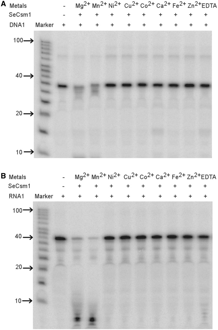 """SeCsm1 cleaves single-stranded (ss)DNA and RNA. The sequences and length of the DNA and RNA substrates used are shown in Table 1 . Lane 1 (labeled """"Marker"""") is an RNA marker in both panels. ( A ) The ssDNA cleavage activity of SeCsm1 and its metal dependence. SeCsm1 cleaves ssDNA in the presence of Mg 2+ and Mn 2+ but not other divalent cations tested. The metal-dependent cleavage activity is inhibited by the addition of ethylenediaminetetraacetic acid (EDTA). The concentration of the enzyme used in all reactions is 1 µM, that of each divalent metal is 2 mM and that of EDTA is 10 mM. ( B ) The ssRNA cleavage activity of SeCsm1 and its metal dependence. Cleavage of ssRNA by SeCsm1 also depends on Mg 2+ and Mn 2+ and is inhibited by EDTA. Same concentrations are used as in (A)."""