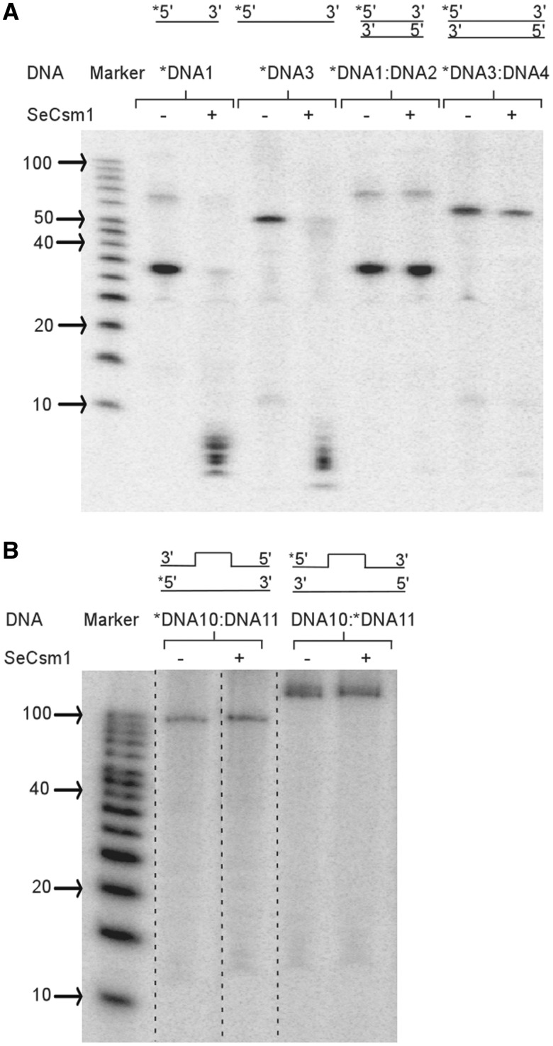 SeCsm1 does not have a DNA endonuclease cleavage activity. Sequences of the DNA substrates used are shown in Table 1 . The first lane is a 5′-labeled RNA marker. ( A ) SeCsm1 cleaves single-stranded DNA1 and DNA3 (lanes 3 and 5) but not the DNA1:DNA3 duplex (lanes 7 and 9). ( B ). SeCsm1 does not cleave the bulged duplex DNA mimicking an artificial R-loop. The DNA bulge is formed by annealing DNA 10 and DNA11, where either DNA10 or DNA11 is radiolabeled.