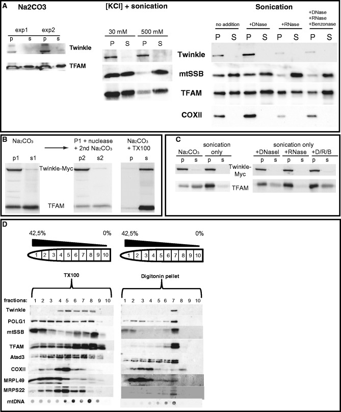 Twinkle is membrane associated. ( A ) Isolated mitochondria of HEK293E cells were subjected to either KCl or sodium carbonate extraction (Na 2 CO 3 ) as described in the main text. Endogenous Twinkle was detected using a monoclonal antibody and blots were re-probed with antibodies for TFAM and mtSSB. Results show that endogenous Twinkle fractionates mostly to the pellet fraction using both methods illustrating its strong membrane association, similar to overexpressed Twinkle ( Supplementary Figure S6C ), whereas TFAM and mtSSB mostly became soluble, in particular, in combination with 0.5 M KCl and sonication. Please note that to detect Twinkle with confidence, more protein was used for these western blots sometimes resulting in overloading of TFAM. Sonication in combination with DNAseI (D) or DNaseI/RNase A (R, RNase)/Benzonase ( B ) released more TFAM and mtSSB than sonication alone, showing that a proportion of TFAM and mtSSB can be found in the insoluble fractions of the various experiments by means of their interaction with mtDNA (rightmost blot panel A). (B) Na 2 CO 3  fractionation shows that overexpressed Twinkle–Myc is almost exclusively in the pellet (p) fraction again indicative of tight membrane association, whereas TFAM is partially soluble (s = supernatant) (left panel). Treatment of the Na 2 CO 3  pellet fraction by DNAseI and subsequent re-extraction using Na 2 CO 3  further released a proportion of TFAM (middle panel). Finally, Na 2 CO 3  in combination with Triton-X100 (TX100) treatment solubilized both Twinkle–Myc and endogenous TFAM (right panel). ( C ) Similar to results shown in panel A, sonication in combination with DNAseI ( D ) or DNaseI/RNase A (R, RNase)/Benzonase (B) released more TFAM than sonication alone or combined with RNase treatment, showing that a proportion of TFAM can be found in the insoluble fractions of the various experiments by means of its interaction with mtDNA, whereas in this case, overexpressed Twinkle–Myc remains in th