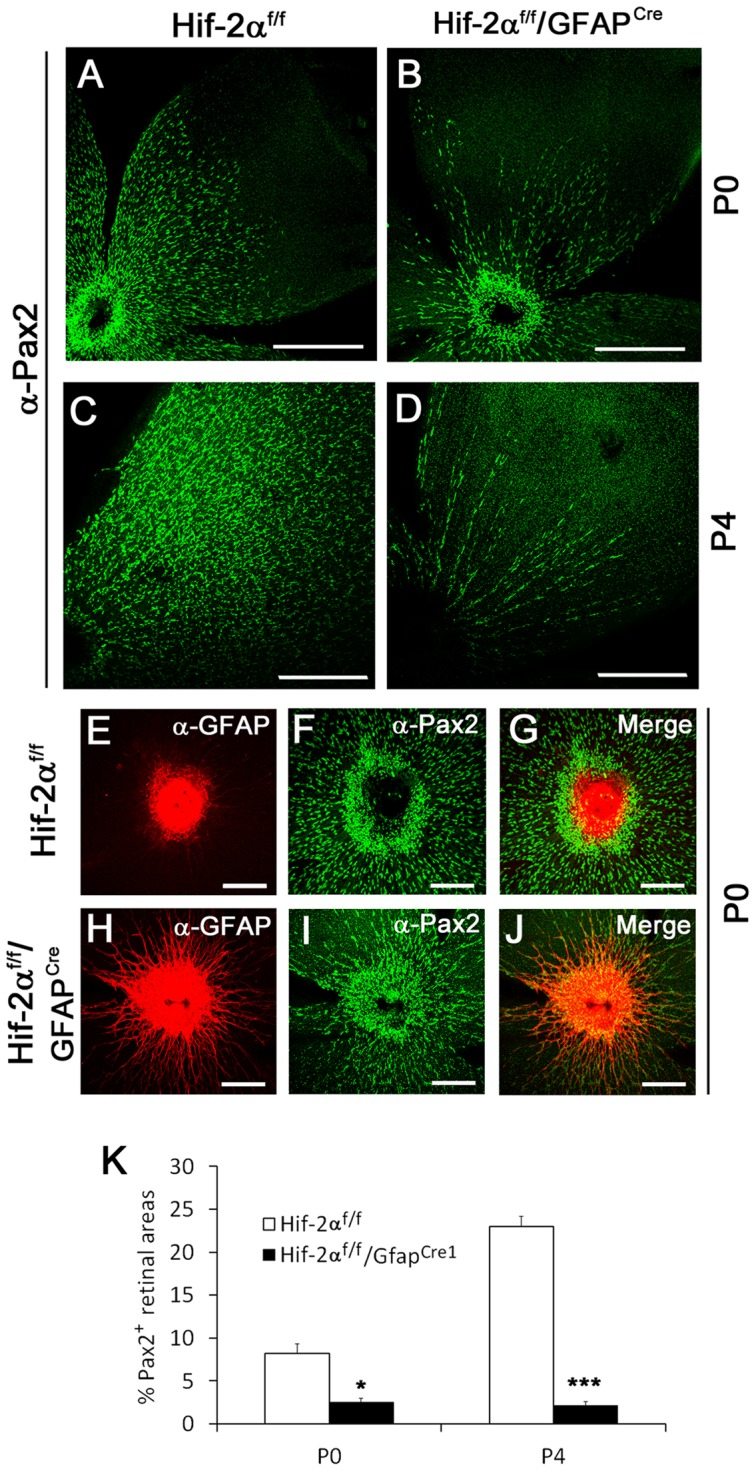 Depletion of Pax2 + astrocyte progenitors in Hif-2α f/f /GFAP Cre mice. A to D. Anti-Pax2 IF staining of retinas at P0 (A and B) and P4 (C and D). The abundance of Pax2 + cells was dramatically reduced in Hif-2α f/f /GFAP Cre mice at both P0 and P4. Scale bars are 500 µm. E to J. Double IF staining of P0 retinas with rabbit anti-Pax2 and rat anti-GFAP, followed by goat anti-rabbit <t>IgG-Alexa</t> 488 and donkey anti-rat <t>IgG-Cy3.</t> In Hif-2α f/f retinas, Pax2 + (green) are abundantly present in the vicinity of strongly GFAP + (red) optic nerve head, but mature GFAP + astrocytes are virtually absent. In Hif-2α f/f /GFAP Cre mice, Pax2 + cells less abundantly present off the optic nerve, accompanied by many GFAP + cells. Scale bars in E to J are 200 µm. K. Percentage (%) of retinal areas occupied by Pax2 + cells. n = 5. * p