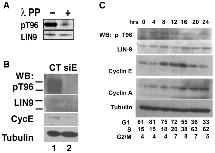 cyclin E is essential for phosphorylation of Thr-96 in LIN-9 in vivo in primary cells. (A) p-LIN-9 Thr-96 antibody is specific. 293T cells were cotransfected with plasmids encoding GFP-LIN-9, FLAG-Cdk3 and cyclin E, and cell extracts were subjected to immunoprecipitation using a monoclonal LIN-9 antibody. IP material was split into two, and incubated for 1 hour at 30°C with or without lambda phosphatase. Samples were subjected to Western Blot using our p-LIN-9 Thr-96 antibody (upper panel). Equal loading of LIN-9 was confirmed by incubating the same membrane with a rabbit antibody against LIN-9 (lower panel). (B) HUVECs were transfected with siRNA control or siRNA directed against Cyclin E1 (Santa Cruz) using Dharmafect 4 (Dharmacon) and harvested after 48 hours. Western Blots was performed with the indicated antibodies. (C) T98G cells were starved in serum-free medium for 36 hours followed by the addition of growth medium (supplemented with 10% serum). Cells were harvested by tripsynization at the indicated time after the addition of serum and use for Western blot or FACS analysis. Western blots were performed as described in Methods.