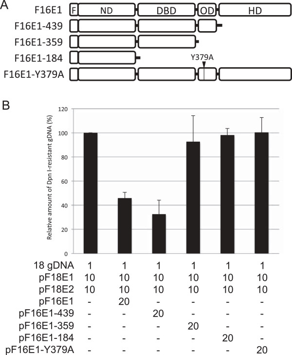 Effects of HPV16 E1 mutants on HPV18 replication. (A) Schematic representation of HPV16 E1 mutants. F, FLAG-tag; ND, N-terminal domain; DBD, DNA-binding domain; OD, oligomerization domain; HD, helicase domain. (B) C33A cells were transfected with 1 ng of the HPV18 gDNA together with the indicated amounts (ng) of the expression plasmids. Three days after transfection, low molecular weight DNA was isolated by the Hirt procedure and digested with Dpn I. The Dpn I-resistant HPV18 gDNA was quantified by real-time PCR and normalized to the luciferase gene. The level of the replication was presented as the relative amount of the Dpn I-resistant DNA compared to that obtained by the replication with the HPV18 E1/E2 alone. Each bar represents the average of two independent experiments with the standard error of mean.