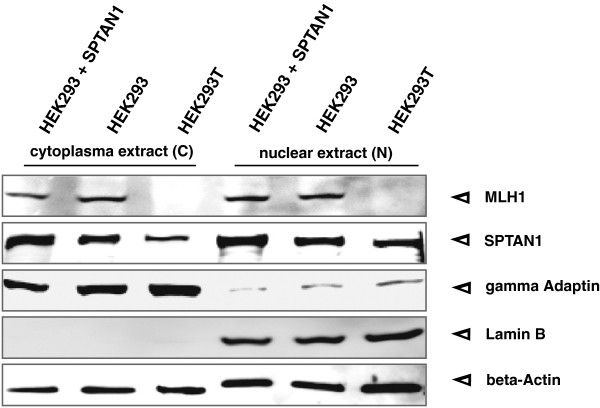 Nuclear and cytoplasmic SPTAN1 analysis. SPTAN1 was described to be involved in DNA repair processes. To determine cellular localization of SPTAN1, nuclear (N) and cytoplasmic (C) protein fractions of SPTAN1 overexpressing or corresponding untransfected HEK293 and HEK293T cells, cells were harvested and analyzed by Western blotting. The efficiency of the fractionation was verified by staining for Lamin B as a nuclear marker and gamma Adaptin as a cytoplasmic marker. In parallel, beta-Actin detection served for quantitative control.