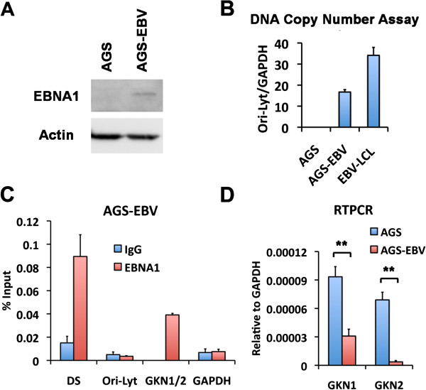 EBV infection of AGS cells suppresses GKN1 and GKN2 transcription. (A) Western blot analysis of <t>EBNA1</t> protein expression in AGS-EBV cells compared with EBV-negative AGS cells was performed using antibody for EBNA1 (top) or Actin (bottom). (B) DNA copy number was assayed by real-time PCR of EBV Ori-Lyt DNA relative to the level of cellular GAPDH in AGS, AGS-EBV, and EBV-LCL cells. (C) ChIP and real-time PCR analysis of EBNA1 (red bars) or control <t>IgG</t> (blue bars) for DNA binding at the EBV sites including DS and Ori-Lyt, or cellular sites including GKN1/2 and GAPDH in AGS-EBV cells. (D) RT-PCR was performed to analyze the mRNA level of GKN1 or GKN2 in AGS (blue bars) or AGS-EBV cells (red bars). ** indicates p