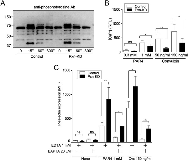 Pxn-KD fails to increase tyrosine phosphorylation and calcium mobilization. (A) Washed platelets obtained from control and Pxn-KD experiments were stimulated with 150 ng/mL convulxin for the indicated times. The cell lysates were resolved by SDS-polyacrylamide gel electrophoresis and then immunoblotted with an anti-phosphotyrosine mAb (4G10). The data shown are representative of three independent experiments. (B) Control and Pxn-KD platelets were labeled with GFP-Certified™ FluoForte™ dye. Changes in intracellular calcium levels after stimulation with an indicated concentration of AYPGKF or convulxin were then measured every 30 s. Data are expressed as the relative fluorescence unit (RFU) measured using a <t>microplate</t> spectrofluorometer (excitation, 530 nm; emission, 570 nm). The peak calcium concentration was measured after stimulation (open bars: control platelets; black bars: Pxn-KD platelets). Columns and error bars represent the mean ± s.d. ( n = 5–8). Statistical significance was determined by the Student's t -test. (C) Control and Pxn-KD platelets were pretreated with 1 mmol/L EDTA and/or 20 μmol/L BAPTA-AM for 10 min, and then stimulated with or without 1 mmol/L AYPGKF or 150 ng/mL convulxin. P-selectin expression on GFP-positive platelets was determined by flow cytometry. Columns and error bars represent the mean ± s.d. of P-selectin expression (n = 4).