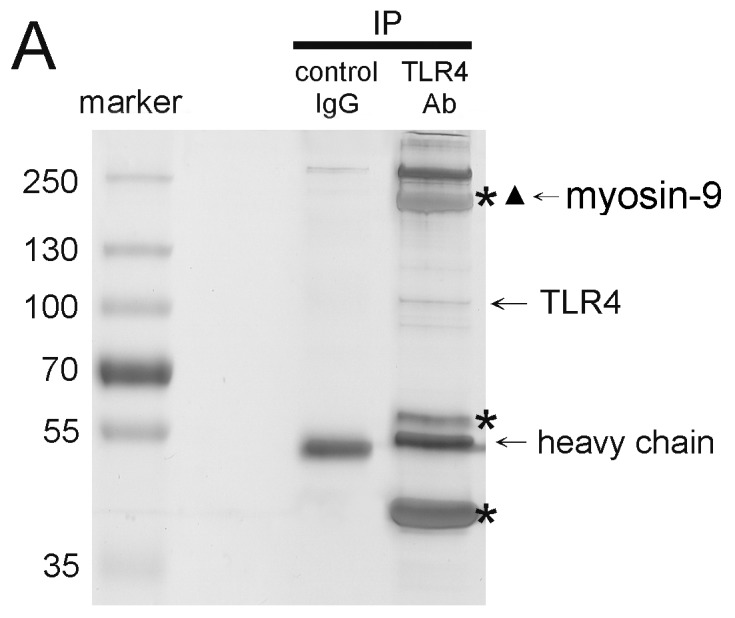 TLR4 interacts with myosin-9. (A) Identification of myosin-9 as a TLR4-interacting protein by co-IP and mass spectrometry. Washed platelet lysates were prepared for IP with mouse IgG- or anti-TLR4-conjugated agarose beads. The precipitated proteins were resolved by SDS-PAGE and revealed by Coomassie Blue staining. The stars indicated the protein bands that were pulled down with the anti-TLR4 antibody but not by mouse IgG. The stars indicated myosin-9 that was identified by nano-LC/MS/MS on an LCQ Deca XP Plus ion trap mass spectrometer.