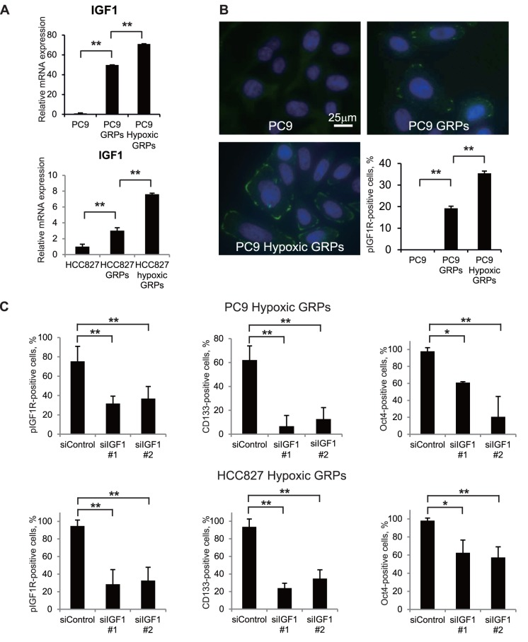 IGF1R was phosphorylated on hypoxic GRPs, and knockdown of IGF1 decreased the population of CD133- and Oct4-positive hypoxic GRPs. A. Quantitative RT-PCR was performed with primers specific for IGF1 in PC9 or HCC827 parental cells, GRPs, and hypoxic GRPs. Data were normalized to actin expression. **p