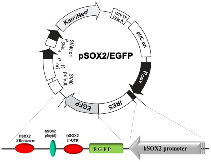 pSox2/EGFP reporter system construction. Schematic of the pSox2/EGFP reporter system. The hSox2 promoter and transcriptional elements including the 3'UTR, poly (A) tail, and 3′ enhancer were cloned into the pEGFP vector.