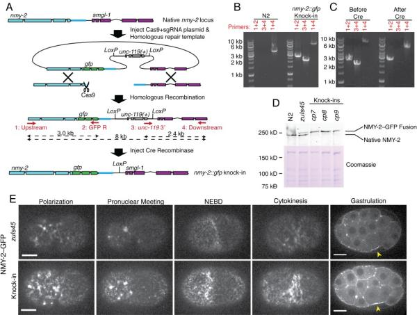 Tagging of endogenous nmy-2 with GFP. (a) Strategy for producing nmy-2::gfp knock-ins. Cas9 cleavage of the 3' end of nmy-2 stimulates homologous recombination, resulting in insertion of GFP and unc-119(+) into the genome. After isolating recombinants, we excised the unc-119(+) selectable marker by expressing Cre recombinase. (b) <t>PCR</t> genotyping of the nmy-2 locus in the indicated strains, using primer pairs as indicated and as schematized in panel a. Results are representative of three independently isolated knock-in strains. (c) PCR genotyping of the nmy-2 locus before and after excision of the unc-119(+) marker with Cre. Results are representative of five independent Cre-mediated unc-119(+) excision experiments. (d) Western blot showing NMY-2 levels in embryonic lysates in <t>N2</t> (wild type), a strain carrying zuIs45 , and strains carrying three independent knock-in alleles. Coomassie staining of total protein is shown as a loading control. Results are representative of three independent experiments. (e) Stage-matched images of NMY-2–GFP localization in an nmy-2::gfp knock-in strain compared to zuIs45 . The embryos shown were placed side-by-side on the same coverslip and imaged simultaneously. The images in the four left columns are maximum intensity projections of two 0.5 μm sections at a cortical focal plane and are taken from Movie S1. The far right panels are single confocal sections from a different pair of embryos at gastrulation stage. Arrows indicate apical accumulation of NMY-2–GFP in gastrulating endodermal precursors. Results are representative of 14 independent experiments. Scale bars represent 10 μm.