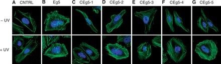 Optochemical activation of Eg5 siRNA in HeLa cells. HeLa cells were transfected with caged and non-caged siRNAs (40 pmol). The cells were irradiated (5 min, 25 W, 365 nm) and incubated at 37°C, 5% CO 2 for 48 h. ( A–G ) The cells were fixed and stained with Alexa Fluor 488 phalloidin (green) and DAPI (blue). The cells were imaged on a Zeiss <t>LSM</t> 710 confocal microscope using a 40× oil objective and Alexa Fluor 488 and DAPI-specific lasers (488 nm multiline argon and 405 nm diode).