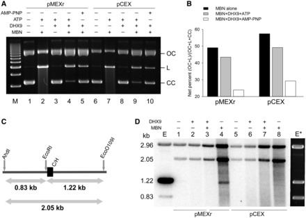 Human DHX9 recognizes DNA secondary structures in plasmids. ( A ), representative agarose gel of CC pMEXr (lanes 1–5) and pCEX (lanes 6–10) incubated with 30 nM purified recombinant human DHX9 protein (lanes 3–5 and 8–10) in the presence of 5 mM ATP (lanes 3 and 4, and 8 and 9) or 5 mM AMP-PNP (lanes 5 and 10) followed by MBN cleavage. Lane M, 1 kb DNA marker. ( B ), plot of net percentage of  OC  and linear ( L ) DNA released from total DNA ( OC + L + CC ) ( CC  = closed circular DNA) at the end of the reaction from two experiments, as described in Panel (A). The net percentage was defined as  F = f s  – f c , were  f s  was the %[( OC + L )/( OC + L + CC )] for each sample, and  f c  was the average %[( OC + L )/( OC + L + CC )] for the two samples without MBN (i.e. lanes 1, 3 and 6, 8, respectively). ( C ) ,  schematic of the diagnostic restriction sites (AhdI and EcoO109I) used to map MBN-specific cleavage in pMEXr. Grey arrows, lengths of restriction fragments released from pCEX and pMEXr when cleaved by AhdI, EcoO109I and EcoRI, which are located several bp from the cloned inserts; C/H, position of the control (C) and H-DNA-forming (H) inserts in pCEX and pMEXr, respectively. ( D ), MBN cleavage mapping. PhosphorImager scan of an agarose gel after electrophoresis of pCEX (lanes 1–4) and pMEXr (lanes 5–8) pre-incubated with 30 nM DHX9 (lanes 2 and 3, and 6 and 7) in the presence of 5 mM ATP, treated with 40 units MBN (lanes 3 and 4, and 7 and 8), end-labeled with T4 DNA polymerase and cleaved with Eco0109I and AhdI. Lane E, control lane containing pMEXr cleaved with EcoRI, labeled with T4 DNA polymerase, and then cleaved with AhdI and EcoO109I;  E* , ethidium bromide staining of lane E.