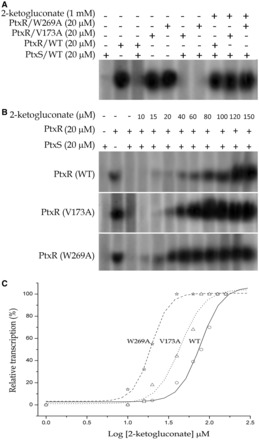 In vitro transcription from P gad . Transcription assays were carried out as described in 'Materials and Methods' section. ( A ) The assay performed in the presence of 20 μM combined wild-type PtxS with wild type PtxR, PtxR(V173A) or PtxR(W269A) mutants. ( B ) In vitro transcription assays obtained by supplementation of increase concentration of 2-ketogluconate (0–150 µM). ( C ) The densitometric analysis of the in vitro transcription gels. Circles: WT PtxR protein, triangle: V173A PtxR protein and star: W269A.